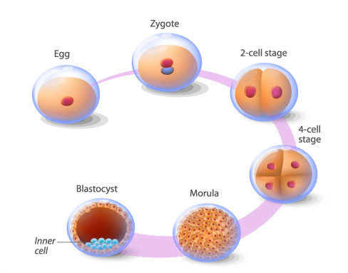 cell_stage